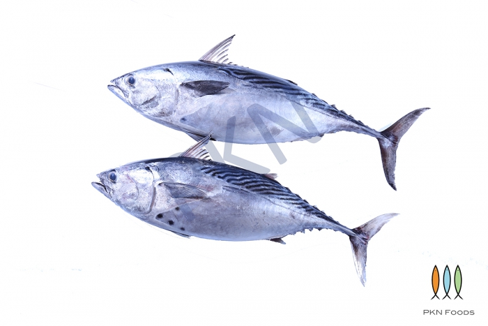 Eastern little tuna
